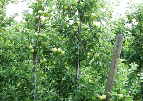 apfelbaum schnitt apfelbaum schnitt jungen apfelbaum gepflanzt wie