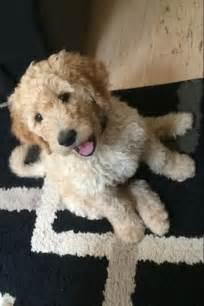 goldendoodle hair goldendoodle haircuts