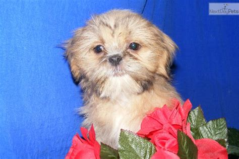 princess shih tzu princess shih tzu shih tzu puppy for sale near jonesboro arkansas