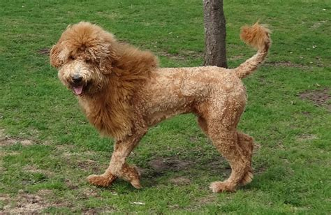 goldendoodle hair types goldendoodle haircuts that will make you swoon