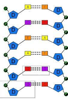 son cadenas de adn genetica basica1 1