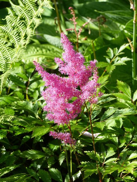 Fern Decor by Astilbe How To Plant Grow And Care For Astilbe Flowers