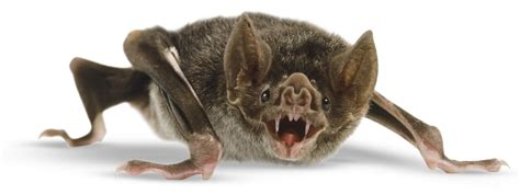 Vampire Bat Facts | Vampire Bat Facts For Kids | DK Find Out