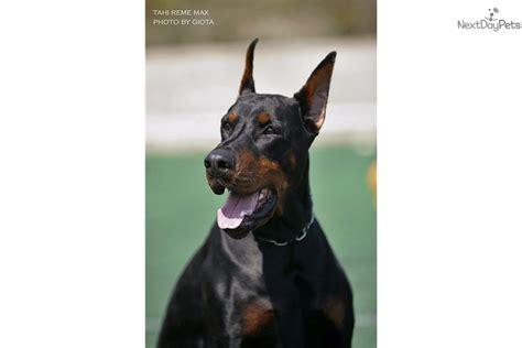 doberman puppies near me doberman pinscher puppy for sale near richmond virginia 922aa319 4df1