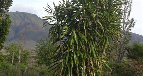 tronchetto pianta appartamento tronchetto della felicit 224 piante appartamento come