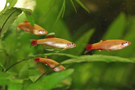 pond fish that are neither koi nor goldfish some