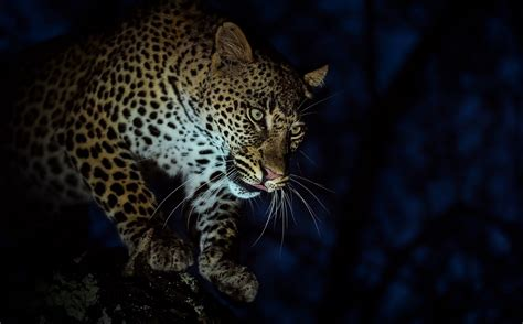 leopard photography pros share  pics wild card