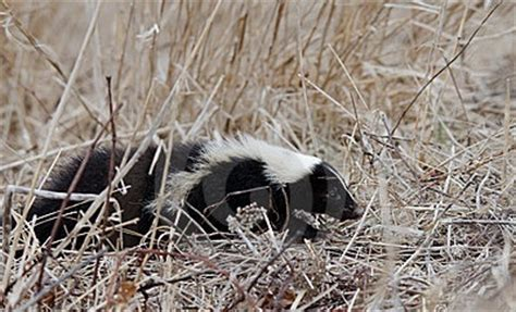 how to get rid of skunks in your backyard 17 best images about skunk be gone on pinterest cats nothing more and skunk smell