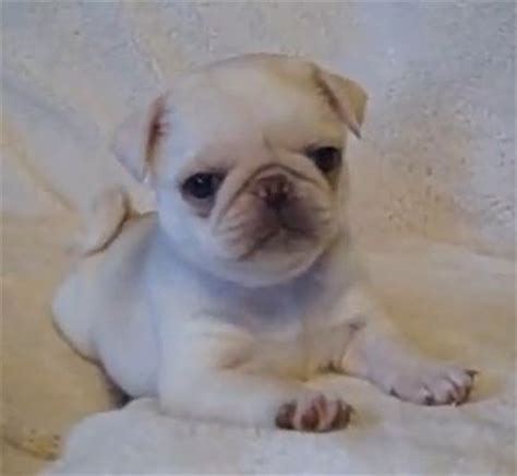 marshmellow the white pug puppy 1000 ideas about puppy on corner station and area