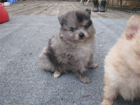 pomeranian breeders in ohio pomeranian husky mix puppies for sale