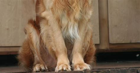 golden retriever weight range size and weight of golden retriever many