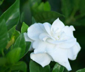 Tanaman Jempiring Gardenia sutan s pages gardenia