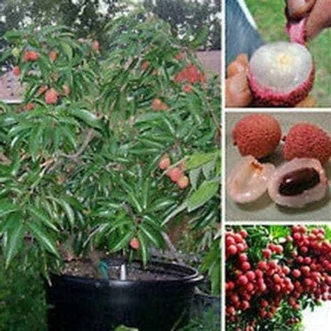 Benih Kelengkeng Yang Bagus jual bibit unggul tanaman leci kom lychee bibit