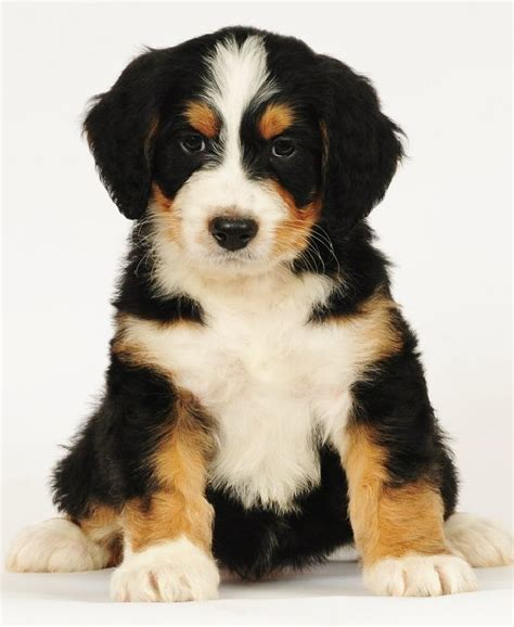 bernadoodle puppies bernedoodle mixed breed puppy designer mixed breed dogs