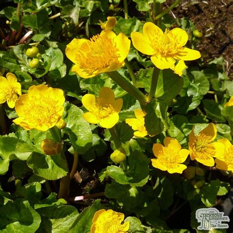 buy caltha palustris yellow marsh marigold   uk
