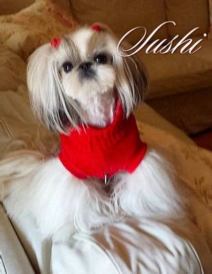 imperial shih tzu grown my imperial shih tzu chanel and sushi