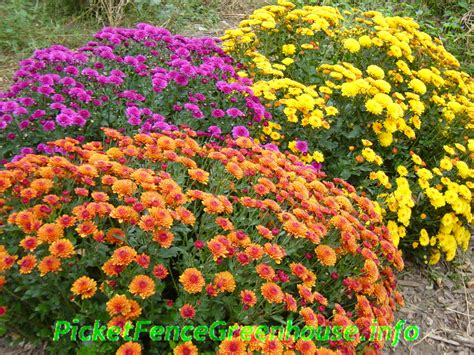picket fence greenhouse iowa gardening planting mums