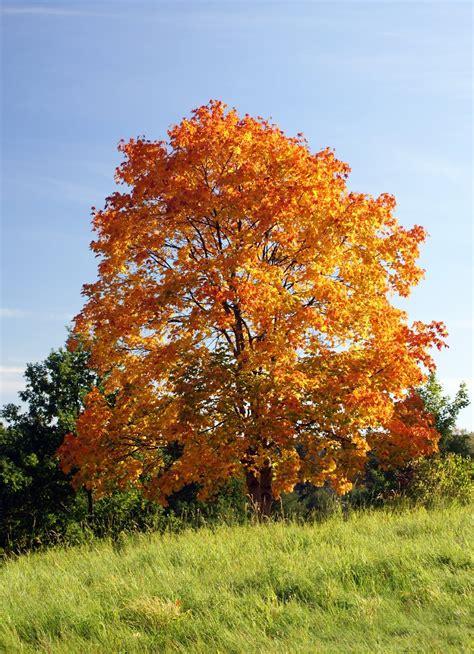 2 maple tree trees planet acer platanoides maple