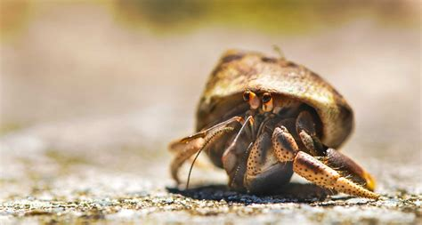 Hermit Crab Shedding by Learn About Nature Hermit Crabs The Molting Process