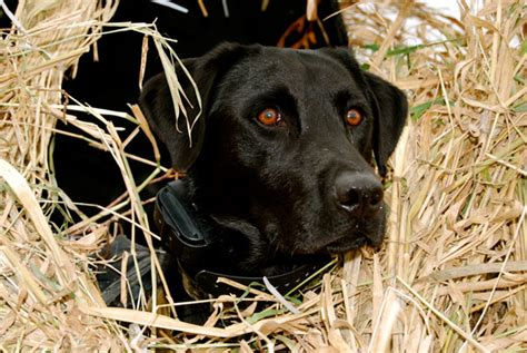 boat dog 10 hours black lab duck hunting www pixshark images