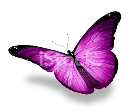 Gamis Buterfly Premium White Pasmina violet butterfly flying isolated on white background stock photos freeimages