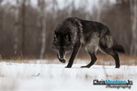 Small Home by Chris Montano Jr Photography Wolves Black Timber