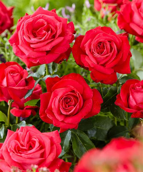 Green Kitchen Design Ideas Buy Large Tea Rose Dame De Coeur Bakker Com
