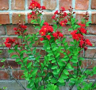 Biji Bunga Bungur Putih kapuas febryana koleksi tanaman hias