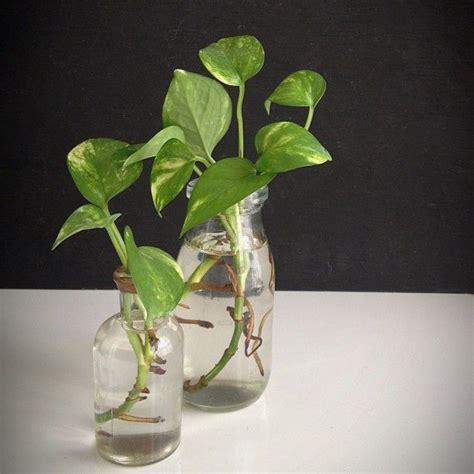 best indoor plants for your sad and lonely life broke 57 best pothos images on pinterest indoor gardening