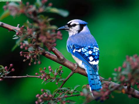 stars animals wallpapers photos blue jay bird cute