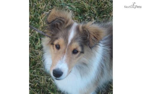 sheltie for sale shetland sheepdog puppies for sale