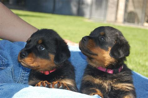 do rottweilers drool 28 rottweiler facts everyone needs to tanipertani