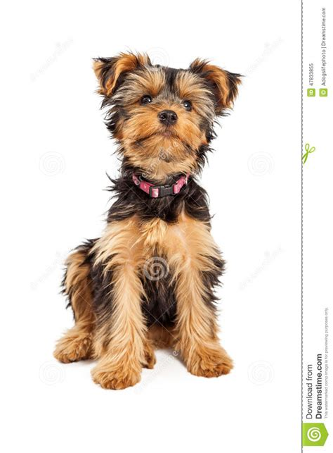 yorkie collars teacup terrier stock photo image 47833855