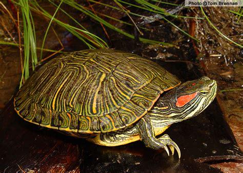 imagenes html slider pond slider trachemys scripta reptiles of arizona