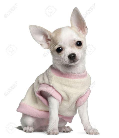 Chihuahua Nail