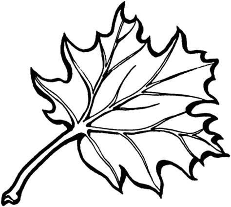 coloring pages oak leaf eastern black oak leaf coloring page supercoloring com