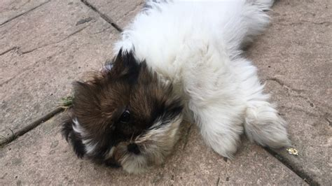 shih tzu puppies for sale in essex shih tzu puppies for sale colchester essex pets4homes