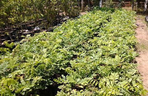 Harga Bibit Kelengkeng jual bibit kelengkeng di banjarbaru jual bibit tanaman