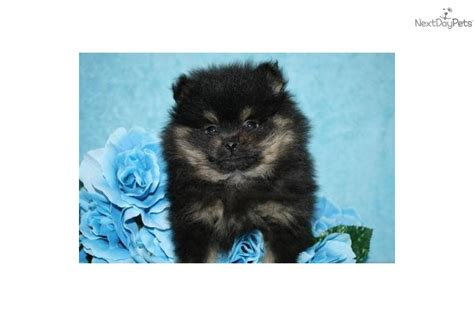 black and white teacup pomeranian for sale meet gorgeous a pomeranian puppy for sale for 550 black and teacup