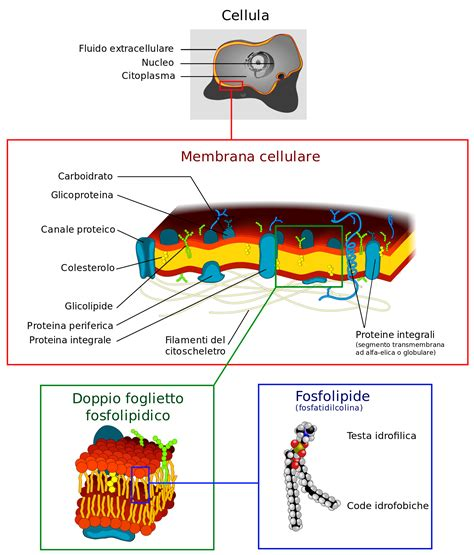 filecell membrane detailed diagram  itsvg wikipedia