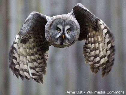 voice of americas best owl voice of americas best owl tawny owl scotland animal