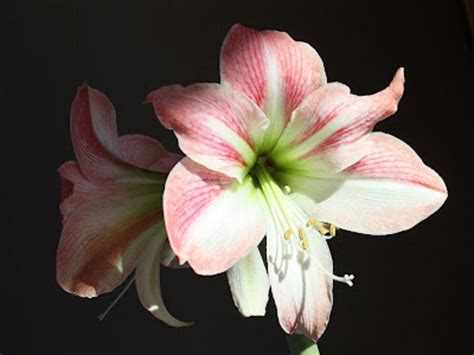 november flower of the month amaryllis floral blog flowers and meanings amaryllis flower picture and meaning