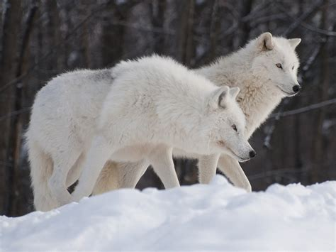 of a wolf arctic wolf pgcps mess reform sasscer without delay