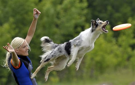 catching frisbee pictures of border collies pets world
