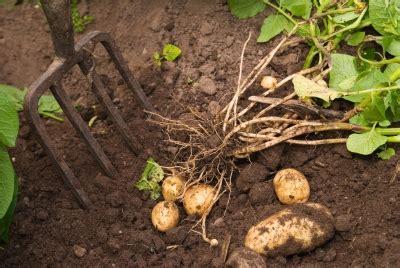 Gardening Potatoes Growing Potatoes 100 Pounds In 4 Square Lpc Survival