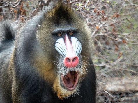 mandrill denver zoo