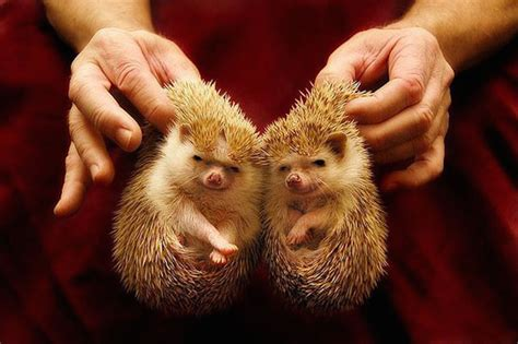 cute baby hedgehog smiling beautiful similarities difference in twins now