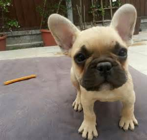 French bulldog puppies pictures puppies puppy