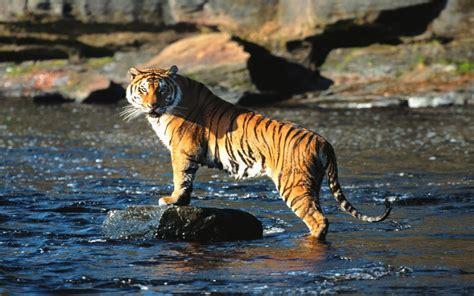 imagenes de tigres de bengala fotos de tigres im 225 genes de tigres tigres anipedia net