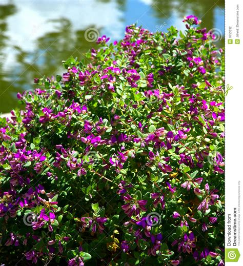 flowering shrubs with purple flowers purple flowering bush stock photography image 9753632